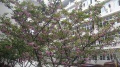 武汉市东西湖职业技术学校校园樱花