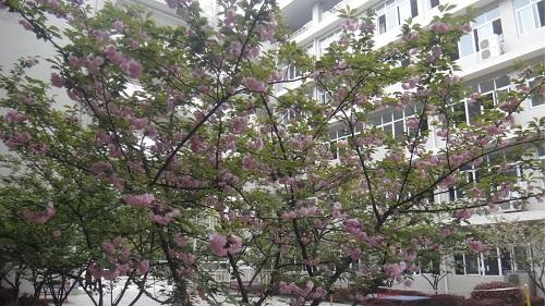 校园樱花.jpg